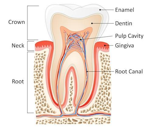 Root Canal Diagram | Salem OR
